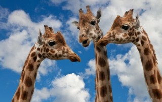 Three giraffes looking like they're having a conversation